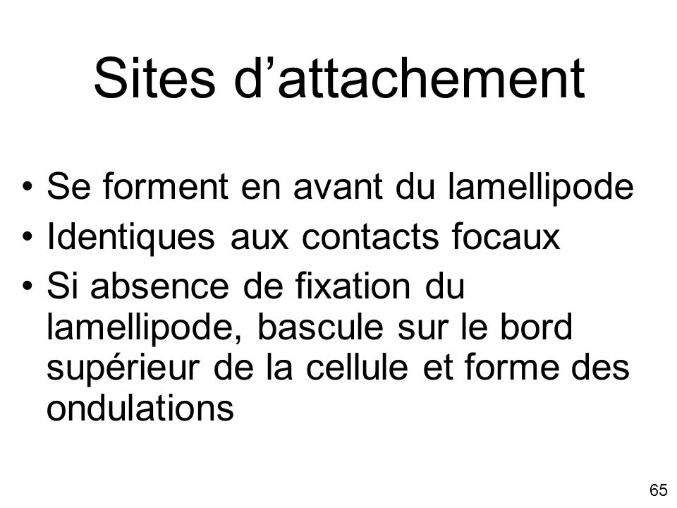 Sites d'attachement Se forment en avant du lamellipode
