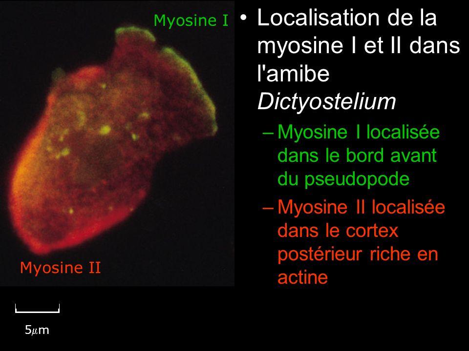 Mercredi 21 novembre 2007 Localisation de la myosine I et II dans l amibe Dictyostelium. Myosine I localisée dans le bord avant du pseudopode.