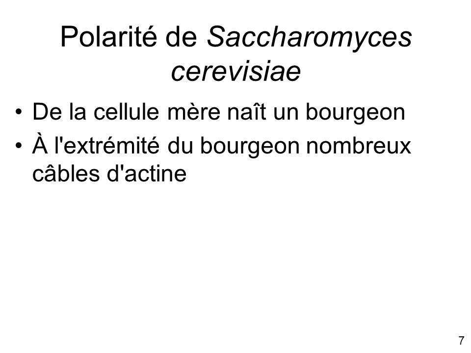 Polarité de Saccharomyces cerevisiae