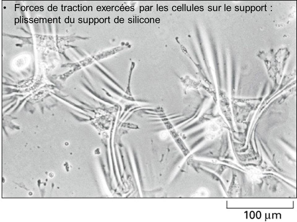 Forces de traction exercées par les cellules sur le support : plissement du support de silicone