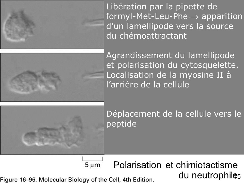 Fig 16-96 #6p978 Polarisation et chimiotactisme du neutrophile