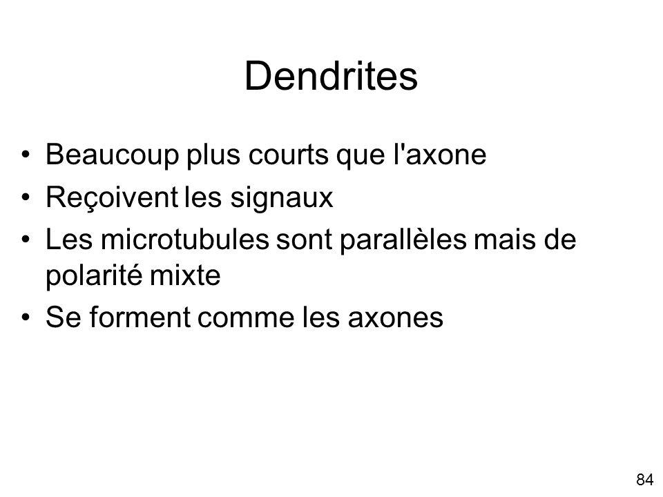Dendrites Beaucoup plus courts que l axone Reçoivent les signaux