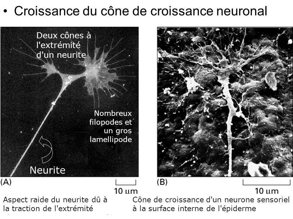 Fig 16-99 Croissance du cône de croissance neuronal #7p980 Neurite