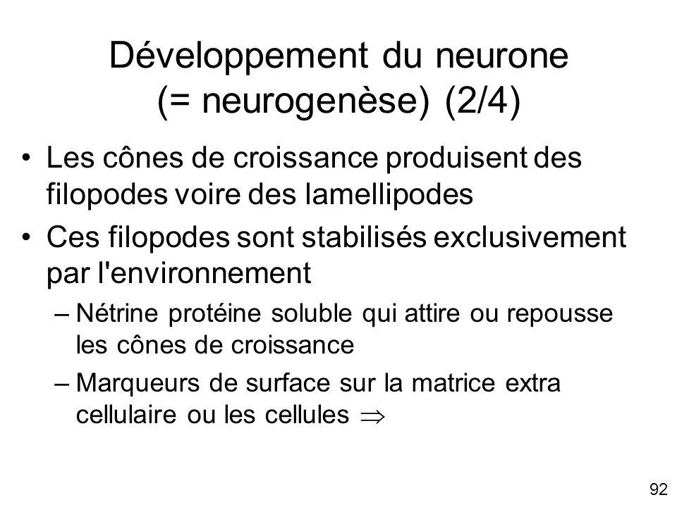 Développement du neurone (= neurogenèse) (2/4)