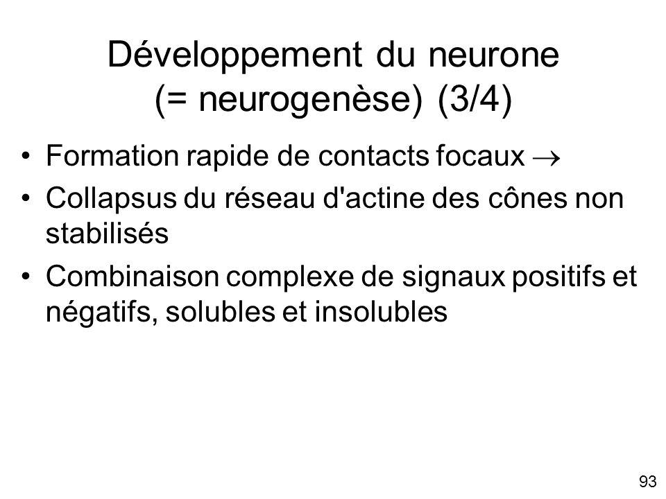 Développement du neurone (= neurogenèse) (3/4)