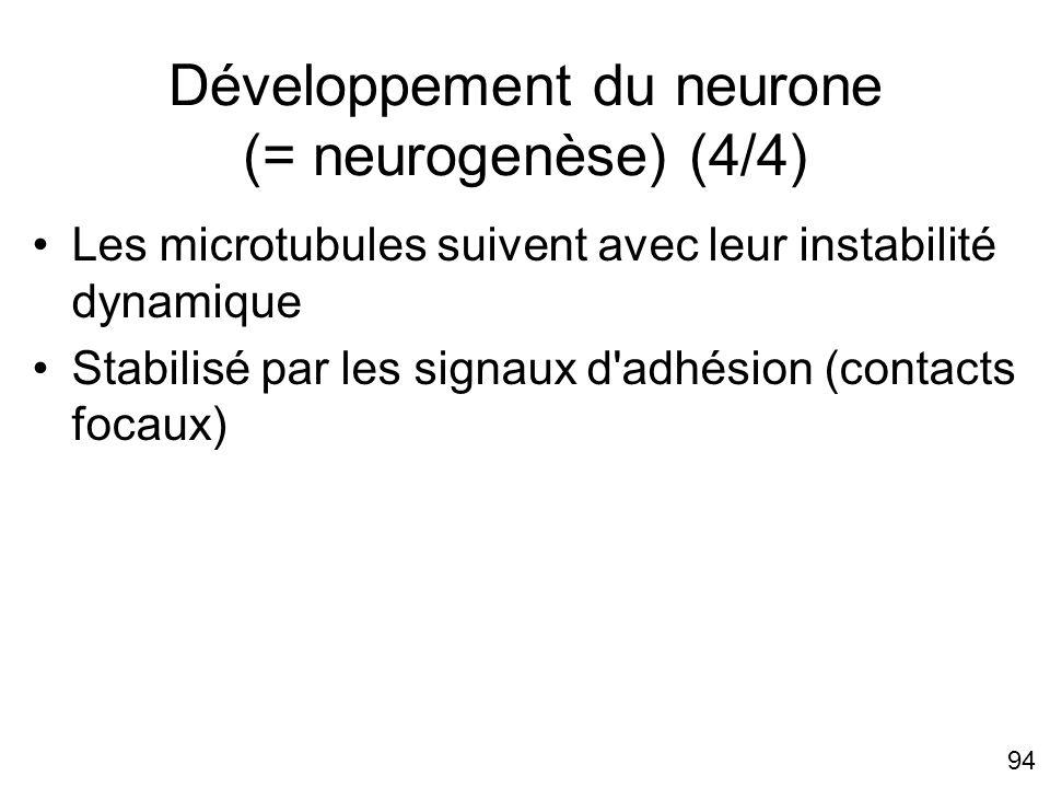 Développement du neurone (= neurogenèse) (4/4)