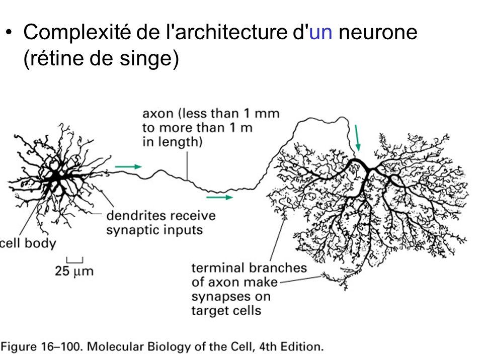 Fig 16-100 Complexité de l architecture d un neurone (rétine de singe)