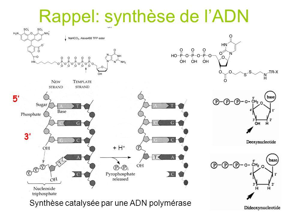 Rappel: synthèse de l'ADN