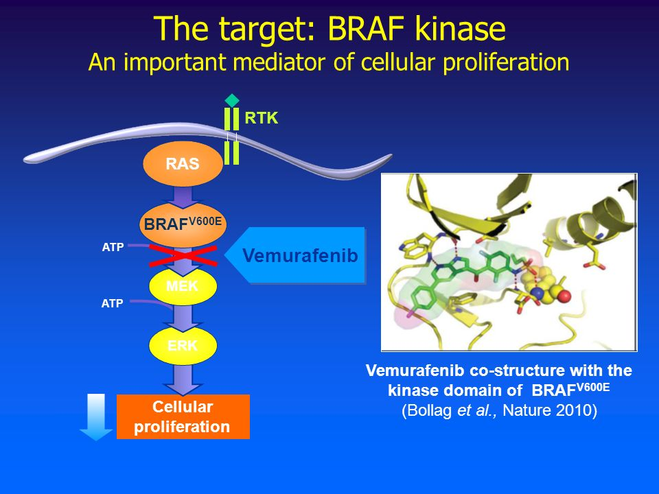 The target: BRAF kinase An important mediator of cellular proliferation