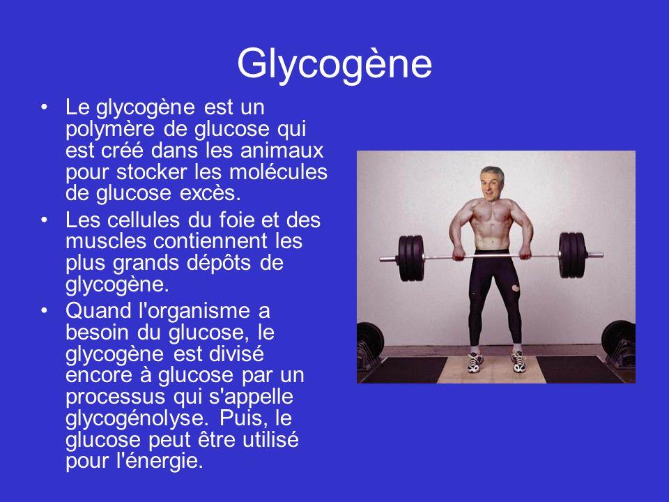 Glycogène Le glycogène est un polymère de glucose qui est créé dans les animaux pour stocker les molécules de glucose excès.