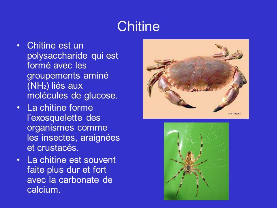 Chitine Chitine est un polysaccharide qui est formé avec les groupements aminé (NH2) liés aux molécules de glucose.