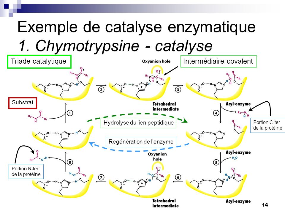 Exemple de catalyse enzymatique 1. Chymotrypsine - catalyse