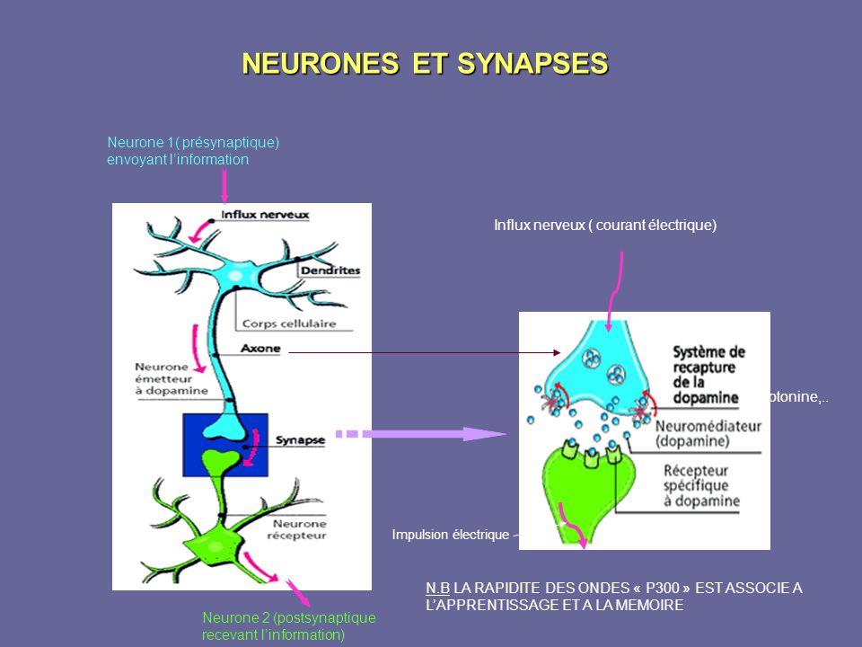 NEURONES ET SYNAPSES Neurone 1( présynaptique) envoyant l'information
