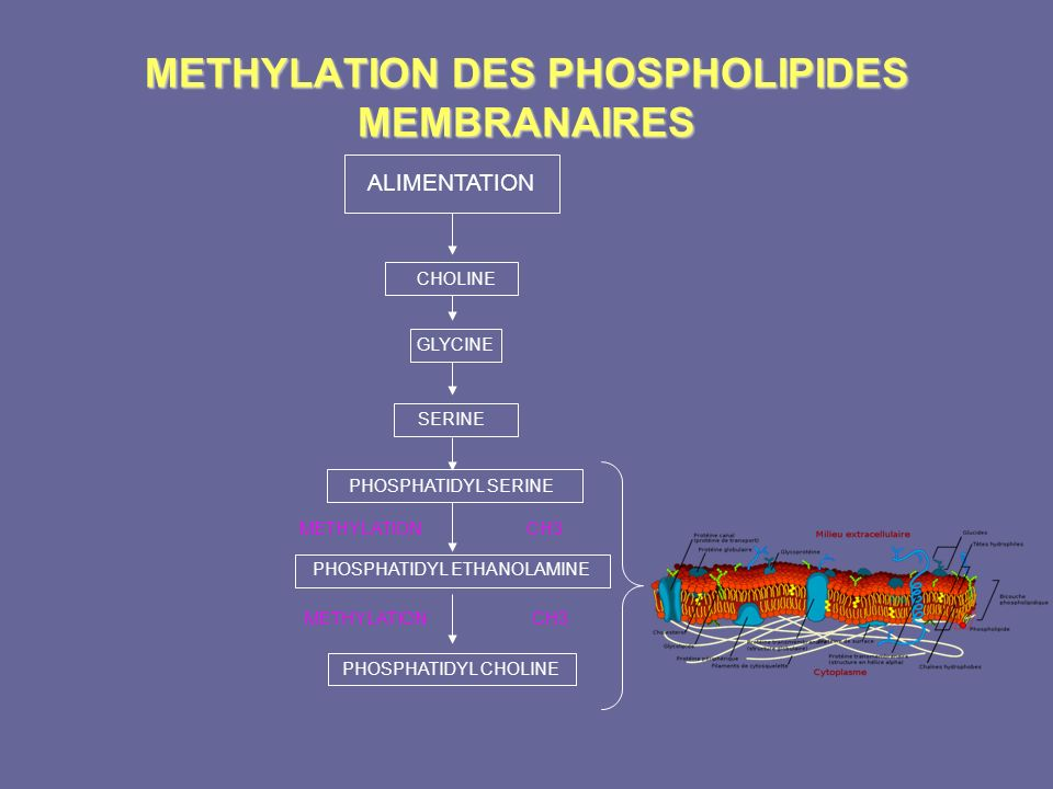 METHYLATION DES PHOSPHOLIPIDES MEMBRANAIRES