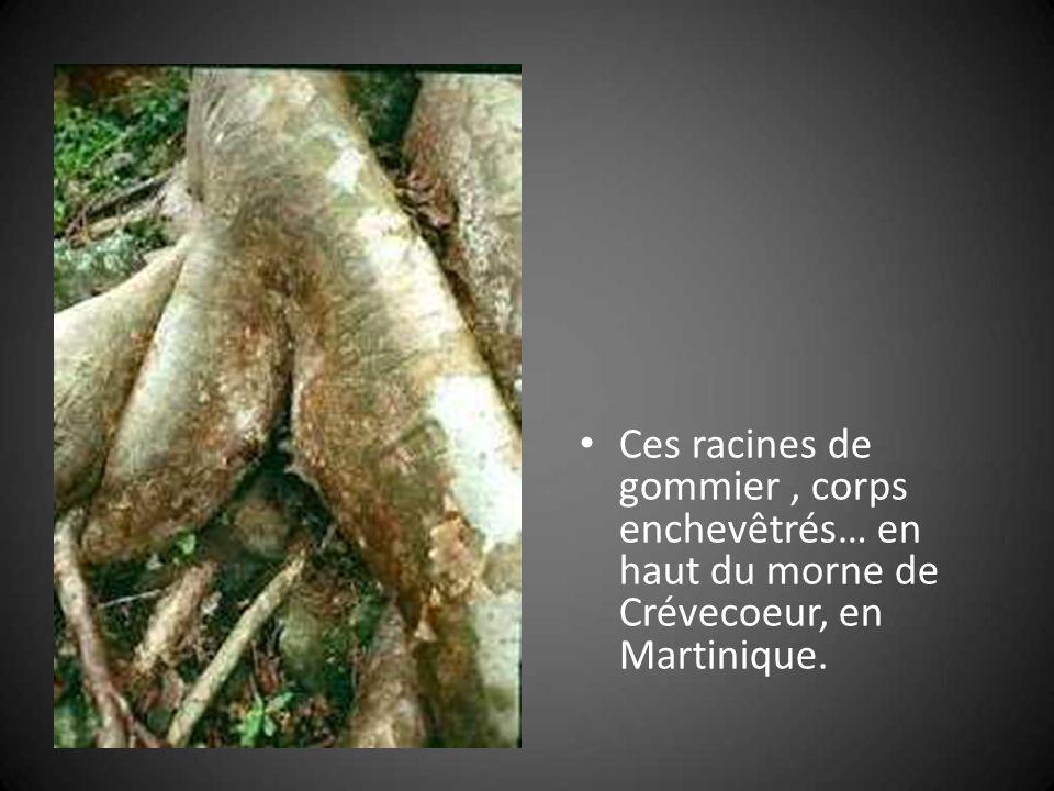 Ces racines de gommier , corps enchevêtrés… en haut du morne de Crévecoeur, en Martinique.