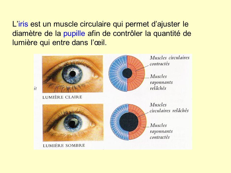 L'iris est un muscle circulaire qui permet d'ajuster le diamètre de la pupille afin de contrôler la quantité de lumière qui entre dans l'œil.