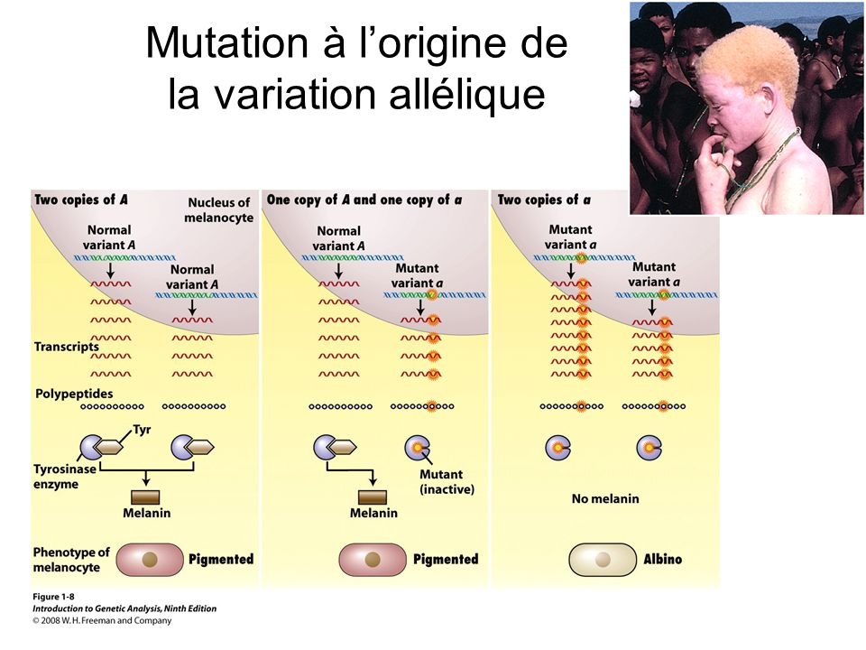 Mutation à l'origine de la variation allélique