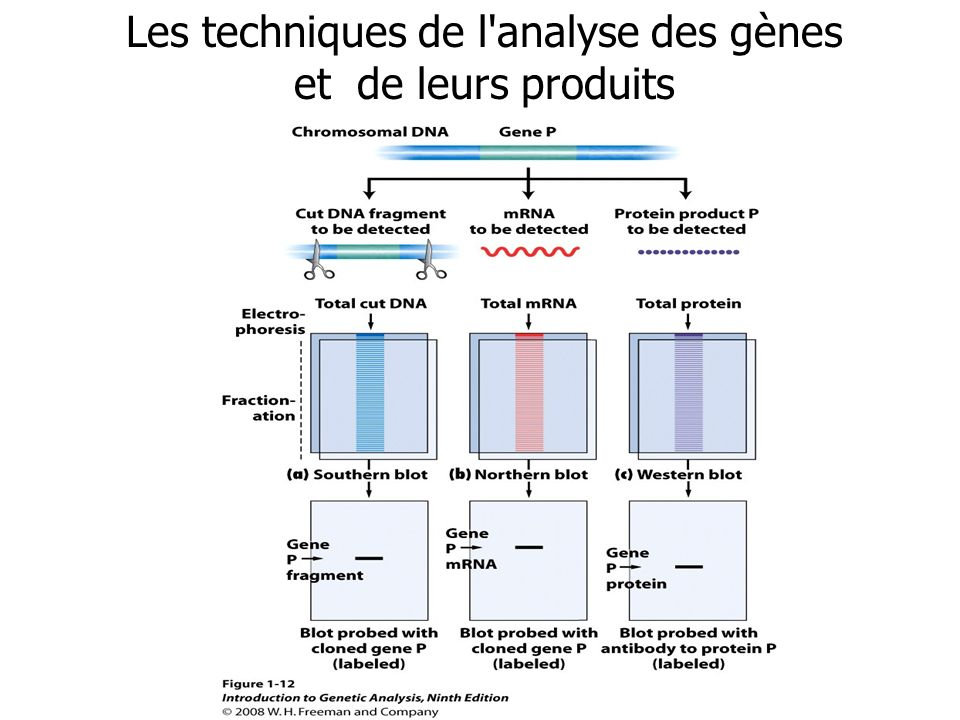 Les techniques de l analyse des gènes et de leurs produits