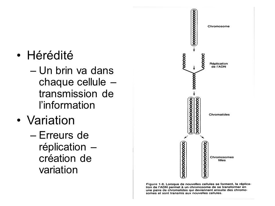 Hérédité Un brin va dans chaque cellule – transmission de l'information.