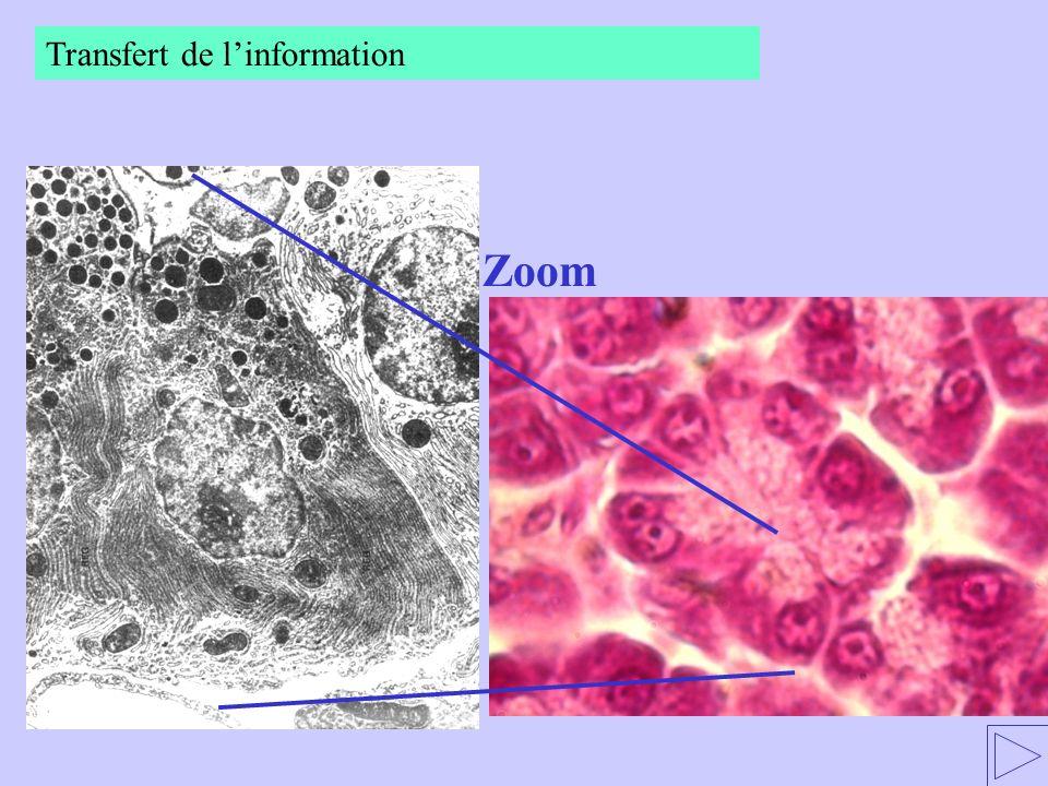 Transfert de l'information