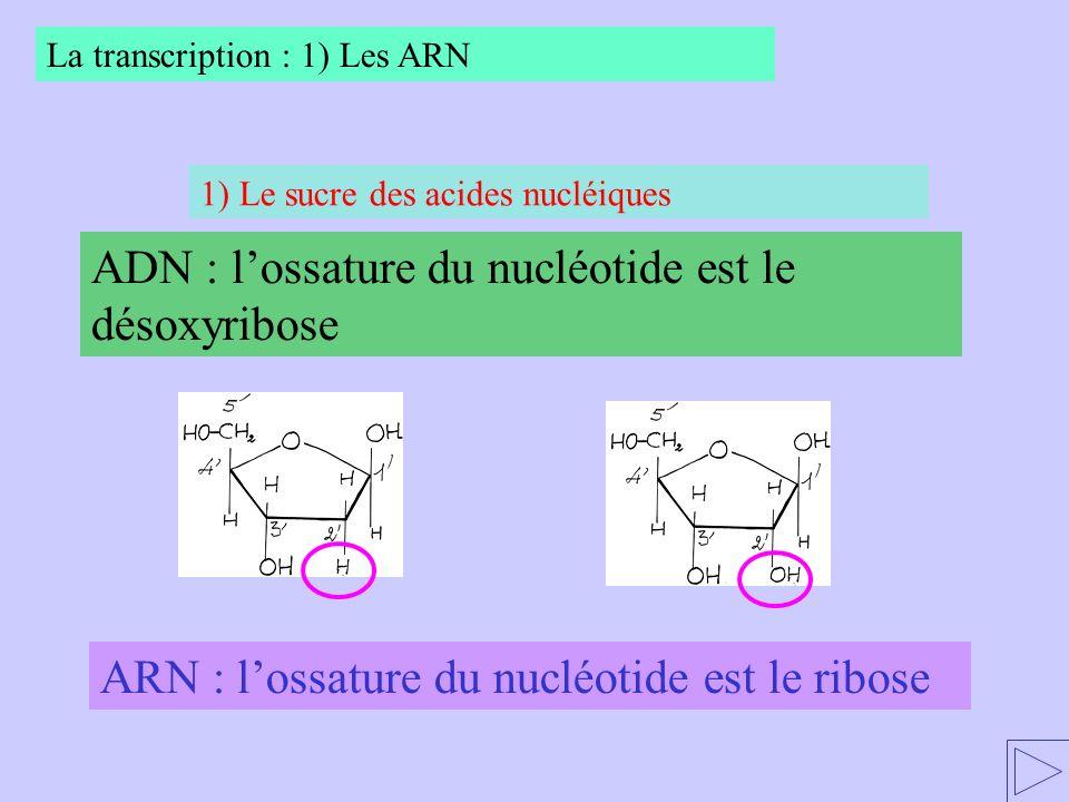 ADN : l'ossature du nucléotide est le désoxyribose