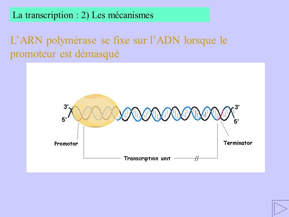 L'ARN polymérase se fixe sur l'ADN lorsque le promoteur est démasqué