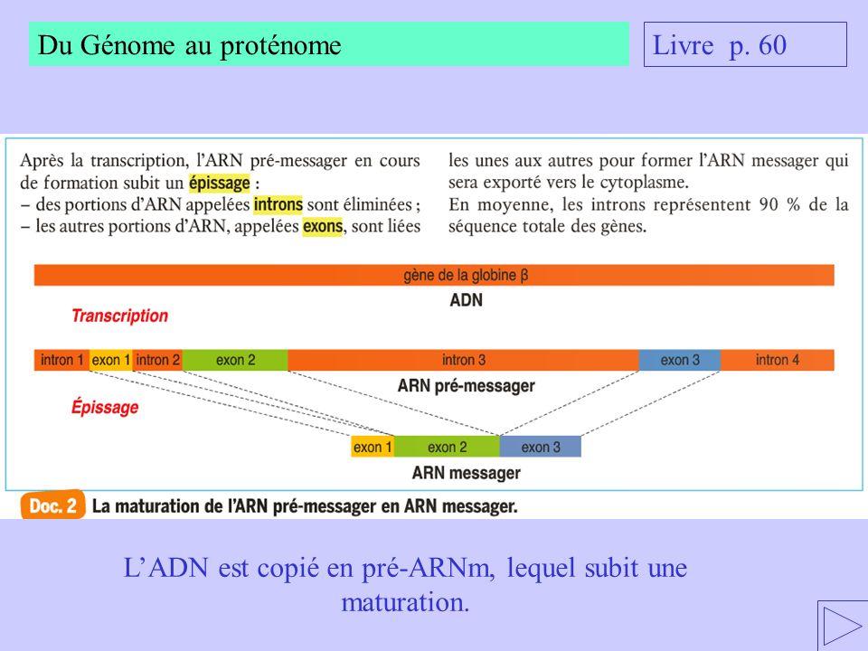 L'ADN est copié en pré-ARNm, lequel subit une maturation.