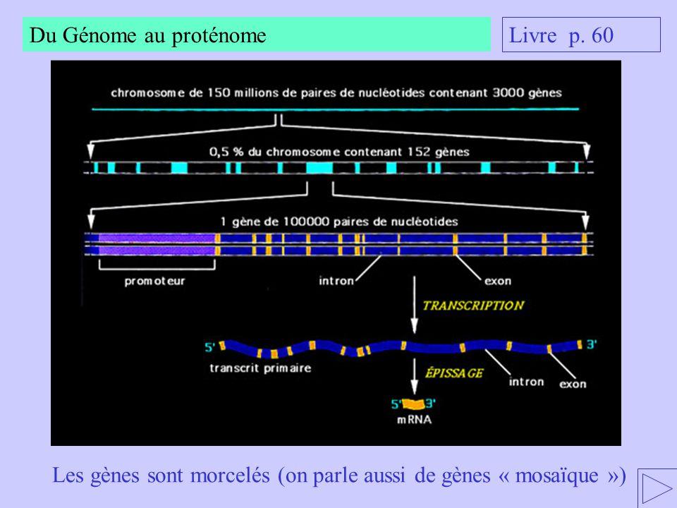 Du Génome au proténome Livre p. 60 Les gènes sont morcelés (on parle aussi de gènes « mosaïque »)