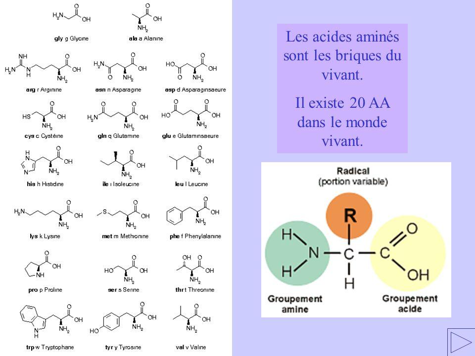 Les acides aminés sont les briques du vivant.