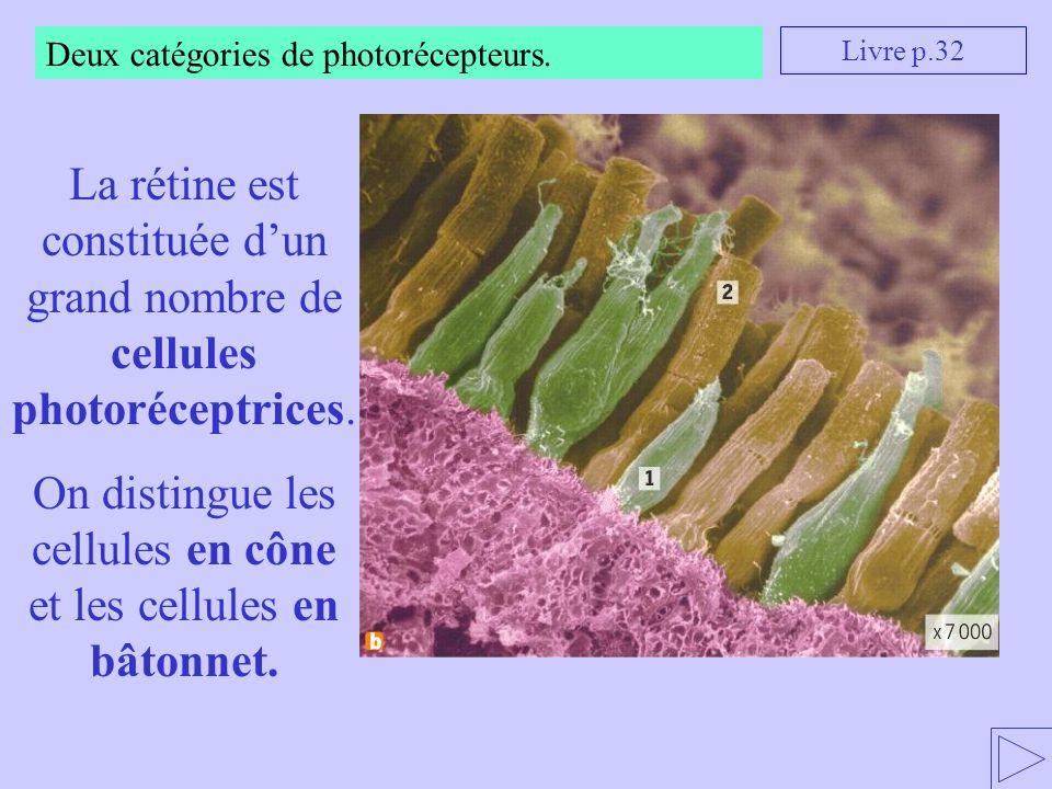On distingue les cellules en cône et les cellules en bâtonnet.