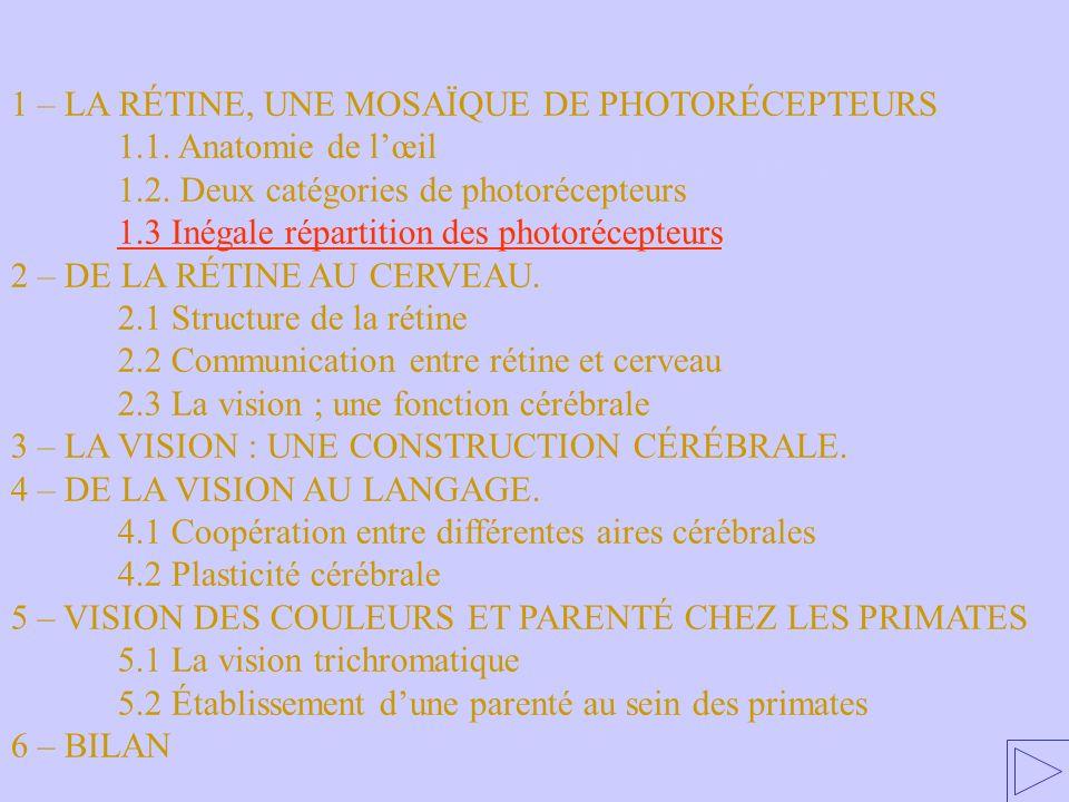 1.3. Inégale répartition des photorécepteurs