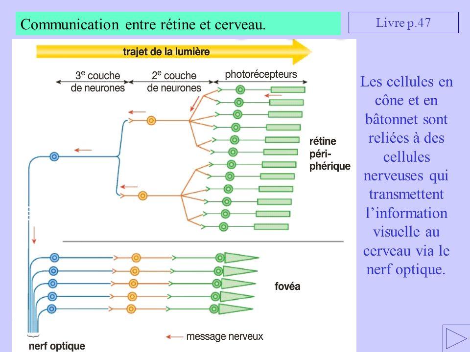 Communication entre rétine et cerveau.