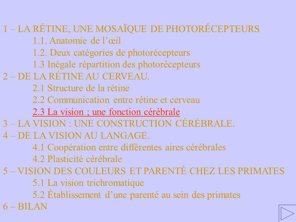 2.3 La vision ; une fonction cérébrale