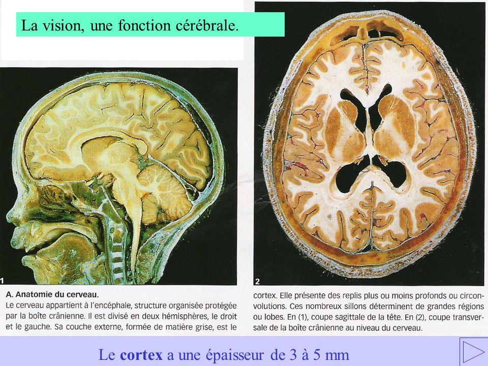 Le cortex a une épaisseur de 3 à 5 mm