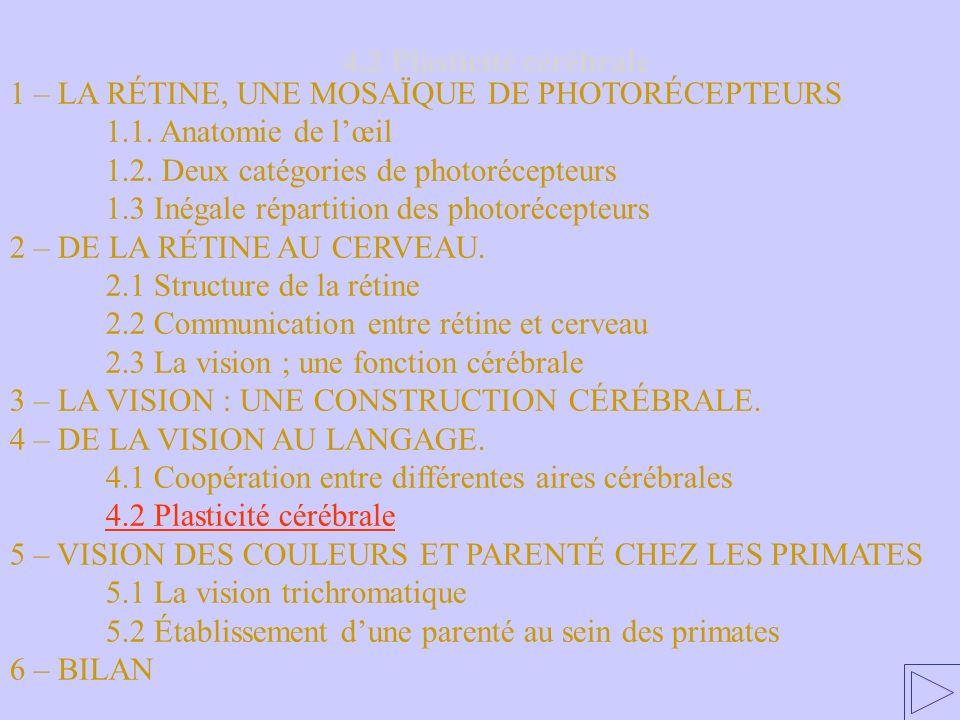 4.2 Plasticité cérébrale 1 – LA RÉTINE, UNE MOSAÏQUE DE PHOTORÉCEPTEURS. 1.1. Anatomie de l'œil. 1.2. Deux catégories de photorécepteurs.