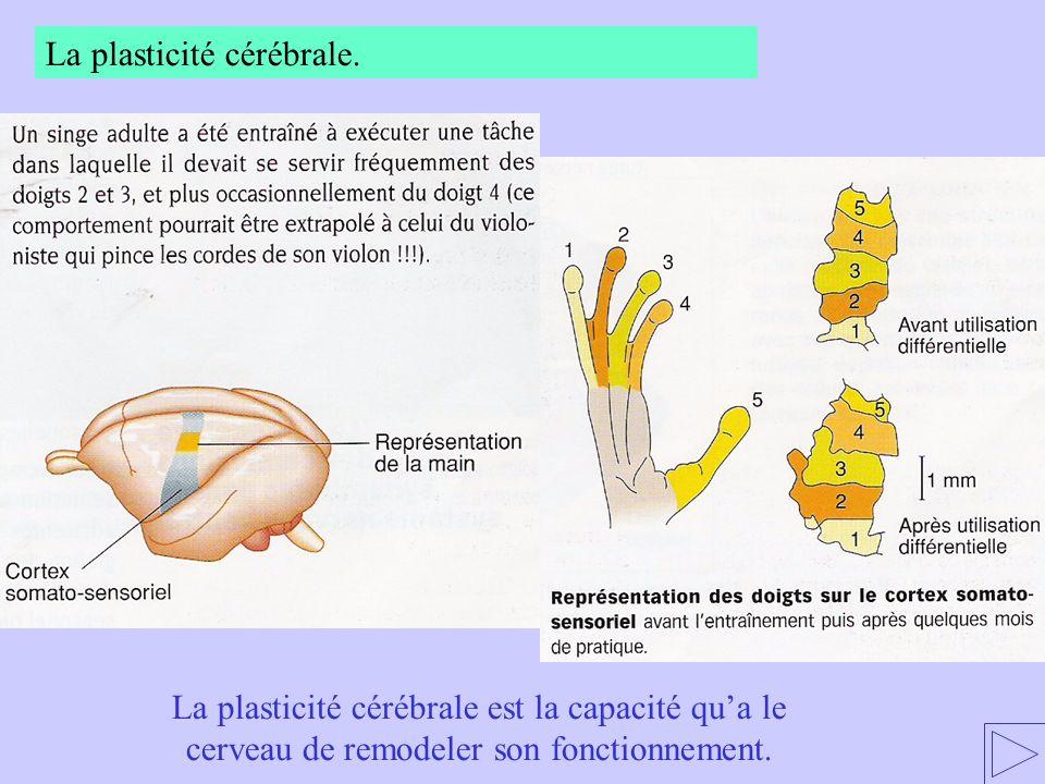 La plasticité cérébrale.