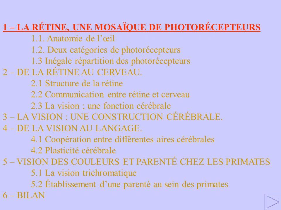 1 – LA RÉTINE, UNE MOSAÏQUE DE PHOTORÉCEPTEURS