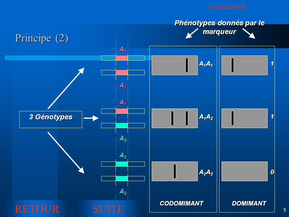 Phénotypes donnés par le marqueur