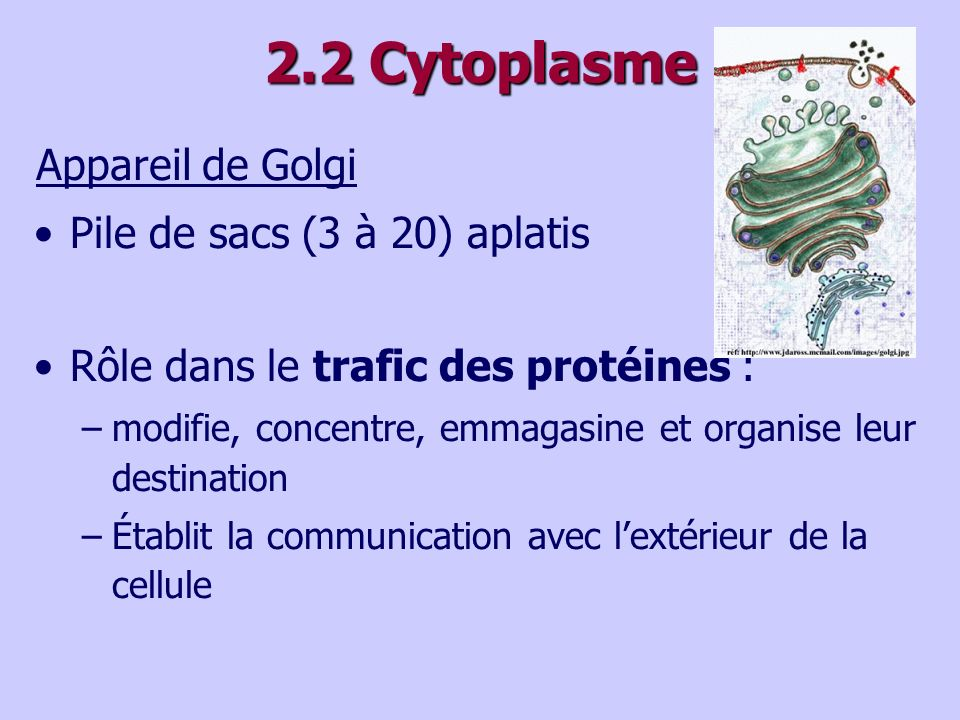 2.2 Cytoplasme Appareil de Golgi Pile de sacs (3 à 20) aplatis
