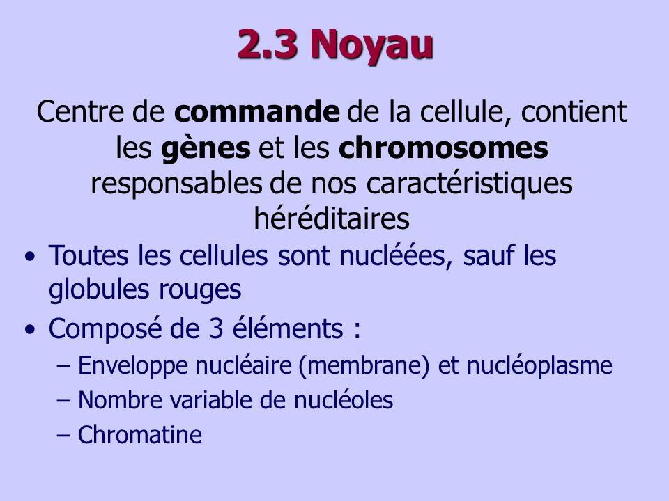 2.3 Noyau Centre de commande de la cellule, contient les gènes et les chromosomes responsables de nos caractéristiques héréditaires.