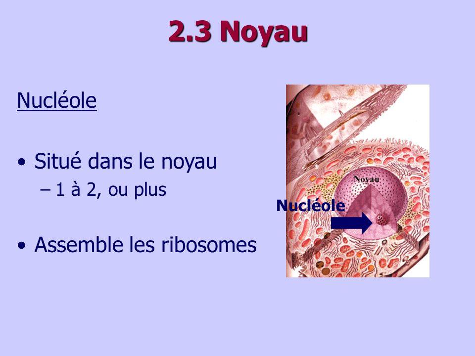 2.3 Noyau Nucléole Situé dans le noyau Assemble les ribosomes