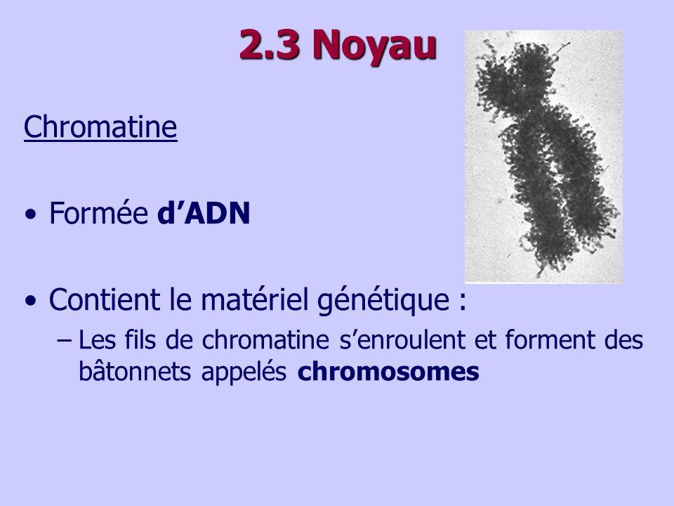 2.3 Noyau Chromatine Formée d'ADN Contient le matériel génétique :