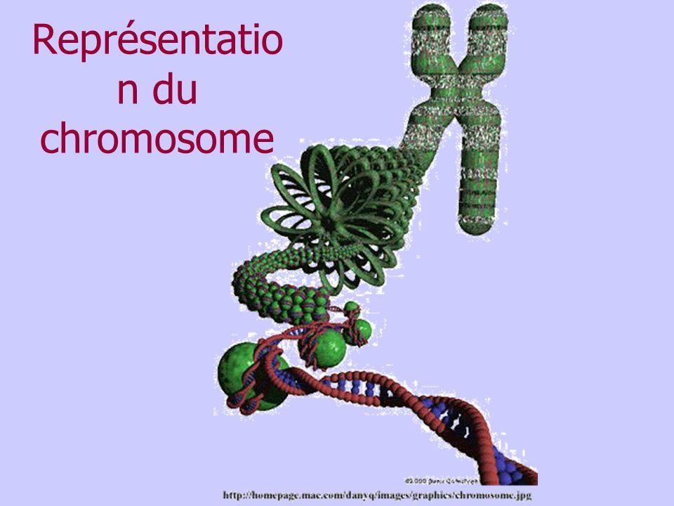 Représentation du chromosome