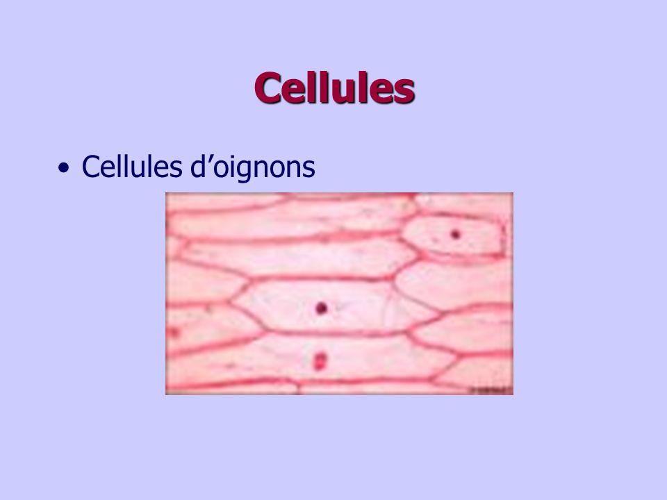 Cellules Cellules d'oignons