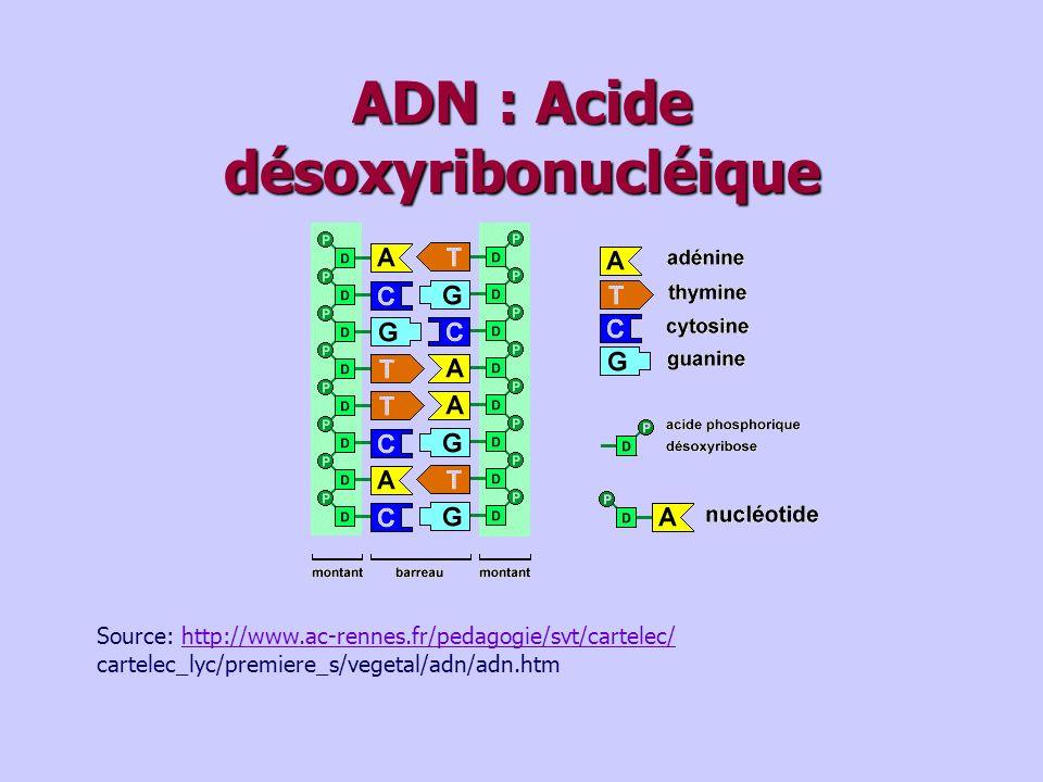 ADN : Acide désoxyribonucléique