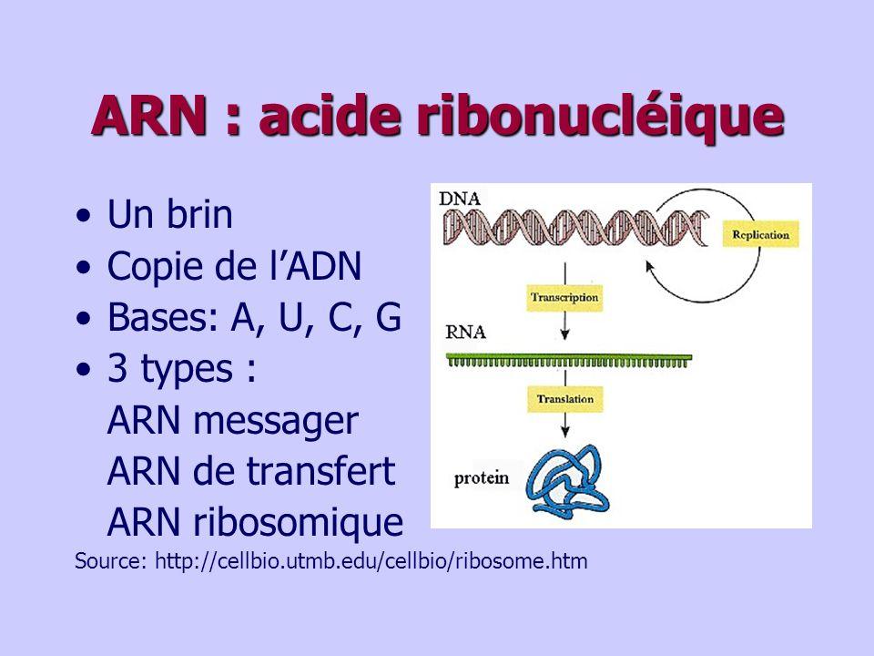 ARN : acide ribonucléique