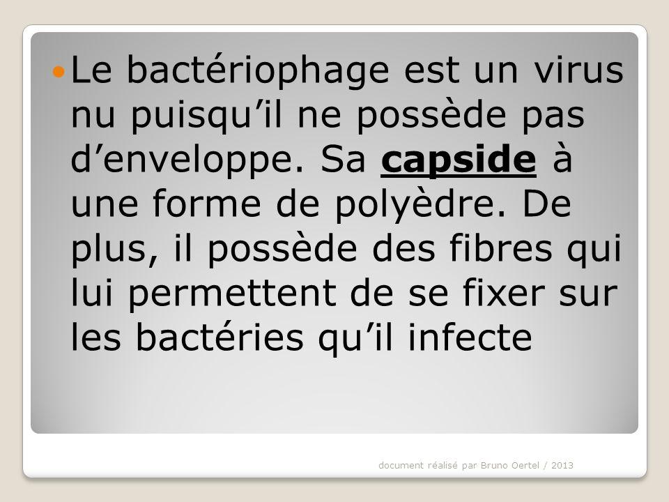 Le bactériophage est un virus nu puisqu'il ne possède pas d'enveloppe