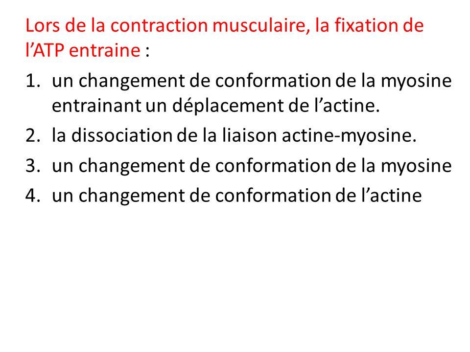 Lors de la contraction musculaire, la fixation de l'ATP entraine :