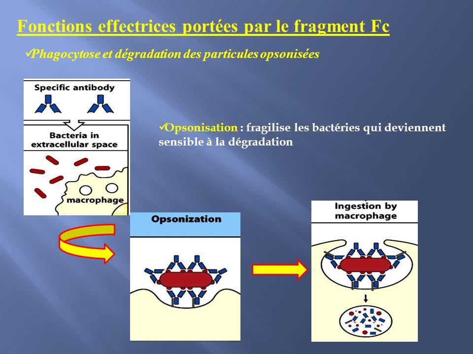 Fonctions effectrices portées par le fragment Fc
