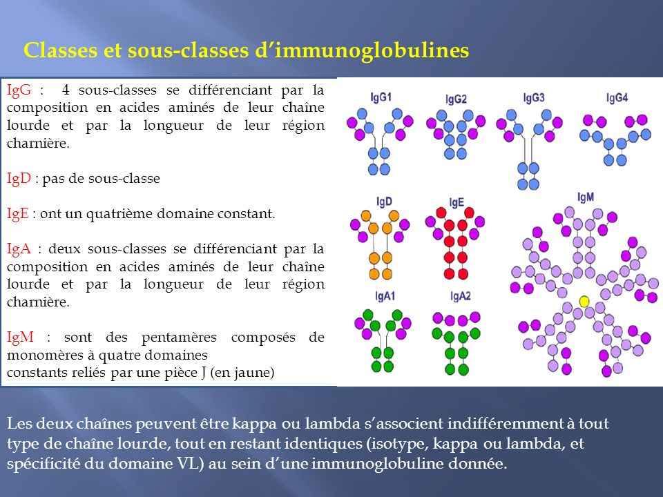 Classes et sous-classes d'immunoglobulines